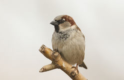 A male House Sparrow Passer domesticus perched on a branch. Stock Photography