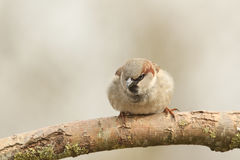 A male House Sparrow Passer domesticus perched on a branch. Stock Images