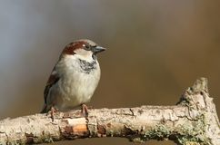 A stunning male House Sparrow Passer domesticus perched on a branch in a tree. A male House Sparrow Passer domesticus perched on a branch in a tree Royalty Free Stock Photography