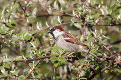 Male House Sparrow (Passer domesticus) Royalty Free Stock Image