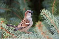 Male house sparrow, Passer domesticus, perched on a tree branch. Bird sitting on a conifer in summer. Alerted wild animal Stock Images