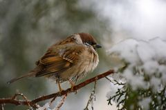 Male House Sparrow Passer domesticus sitting on the branch of a fir.  Royalty Free Stock Photos
