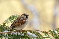 Male House Sparrow Passer domesticus sitting on the branch of a fir.  Stock Photography
