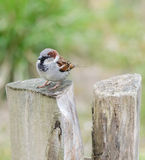 Male house sparrow (Passer domesticus) on a tree trunk. Curious male house sparrow (Passer domesticus)on a tree trunk looking at the viewer Royalty Free Stock Photos