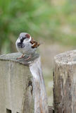 Male house sparrow (Passer domesticus) on a tree trunk. Curious male house sparrow (Passer domesticus)on a tree trunk looking at the viewer Stock Images