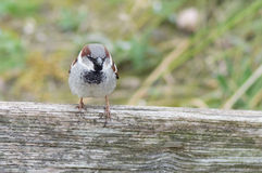 Male house sparrow  (Passer domesticus) on a tree trunk Royalty Free Stock Photography