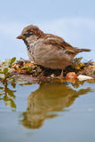 Male House sparrow Royalty Free Stock Photography