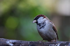A male House Sparrow. Perched on a branch against a clear background looking to its right with negative space for copy Stock Photography