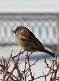 Male House Sparrow perched on a branch. Russia. Spring, March. Stock Photos