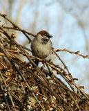 Male House Sparrow. A male house sparrow perched on the branches of a blooming weeping cherry tree during Spring Stock Photo
