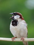 Male House Sparrow perched on electricity wire with open mouth Royalty Free Stock Photo