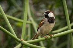 Male house sparrow perched on green branch Stock Image