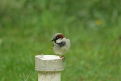 Male house sparrow. Perched ,Passer domesticus Stock Photography