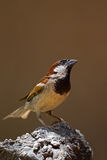 Male House Sparrow perched on rock Stock Image