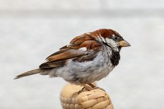 Male House Sparrow Perched on a table stock photography