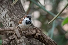 Male house sparrow perched on tangled branches Stock Photography