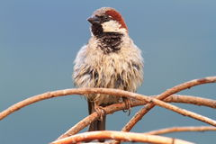 Male house sparrow perched on twigs Royalty Free Stock Images