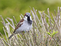Male house sparrow in plumage on reeds Royalty Free Stock Image
