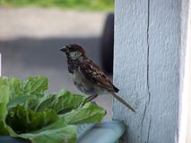 Male House sparrow protrait Royalty Free Stock Photography