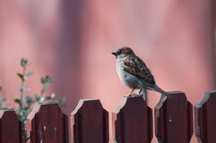 Male house sparrow resting on a fence Stock Photo