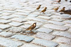 Male of house sparrow on paving stone. Male of house sparrow sits on paving stone. Feeding birds Royalty Free Stock Image