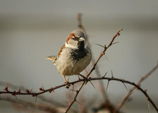Male house sparrow. A male house sparrow sitting on a rose bush Royalty Free Stock Photography