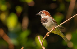 Male house sparrow. Sitting on a twig Royalty Free Stock Photography