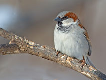 Male House Sparrow. Standing on a branch stock photo