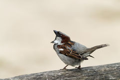 Male house sparrow standing proud Royalty Free Stock Photography