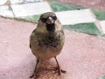 Male House Sparrow. A Male house sparrow standing on a tiled floor waiting for crumbs in Morocco Royalty Free Stock Images
