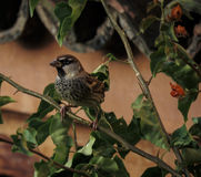 Male House Sparrow. A Male house sparrow standing in a tree growing up a wall in Morocco Royalty Free Stock Images