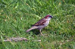 Male house sparrow. A male house sparrow stands on a green grass. Sparrows are among the most familiar of all wild birds in the world Royalty Free Stock Photography