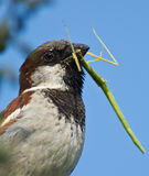 Male House Sparrow with Stick insect. A male House Sparrow comes back to his nest carrying a Phasmid, also known as Stick insect in his beak. House Sparrows are Royalty Free Stock Photo