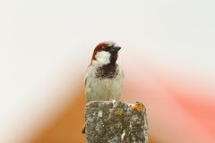 Male house sparrow on top of cement pillar Royalty Free Stock Image