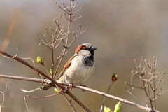 Male house sparrow on twig. ( Passer domesticus Stock Images