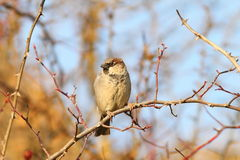 Male house sparrow on twig Royalty Free Stock Photo