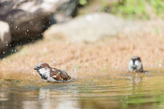 Male house sparrow in water Royalty Free Stock Photography