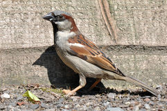 Male House Sparrow. A wild male house sparrow, passer domesticus, on the ground Stock Photography