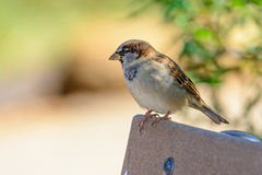Male House Sparrow (Passer domesticus ) on a park bench Royalty Free Stock Images
