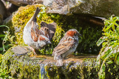 Male house sparrows feuding Royalty Free Stock Image