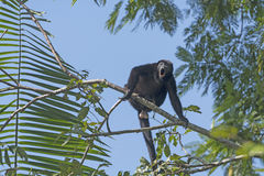 Male Howler Monkey howling in the Trees. In Tortuguero National Park in Costa Rica Royalty Free Stock Photos