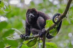 Male howler monkey resting in the trees Royalty Free Stock Photo