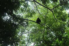 Howler Monkey in the tree. Stock Photography