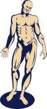 Male human anatomy Stock Image
