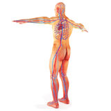 Male Human circulatory system Royalty Free Stock Image