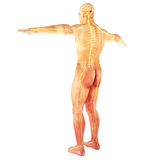 Male Human nervous system Royalty Free Stock Photography