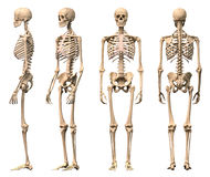 Male Human skeleton, four views.