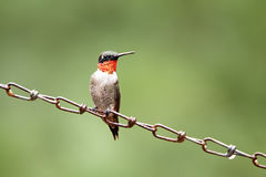 Male Hummingbird Royalty Free Stock Image