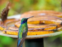 Male hummingbird Stock Photography
