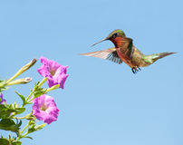 Male Hummingbird getting ready to feed Stock Images